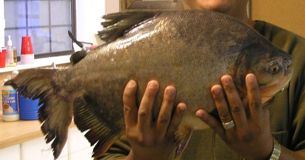 Invasive pacu fish caught in texas river texas liberal for Texas parks and wildlife fishing report